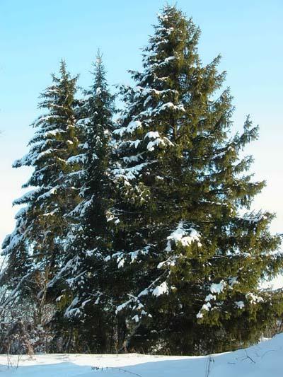 В лесу родилась елочка